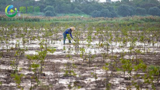 椰视频|瞰海南:新增红树林面积1950亩 海口江东新区首个生态修复项目基本完工