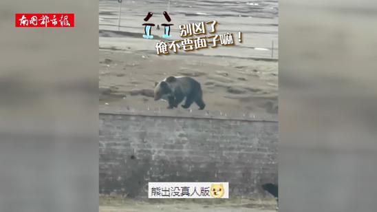 椰视频 | 熊出没,有藏獒!棕熊闯西藏军营被藏獒赶跑