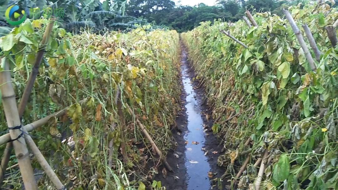 椰视频 | 海口昌德村80多亩菜地因附近企业施工填堵排水沟被淹