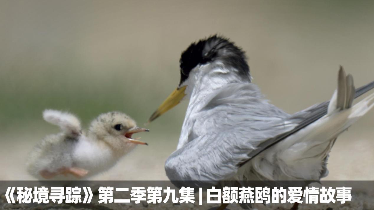 《秘境寻踪》第二季第九集 | 白额燕鸥的爱情故事